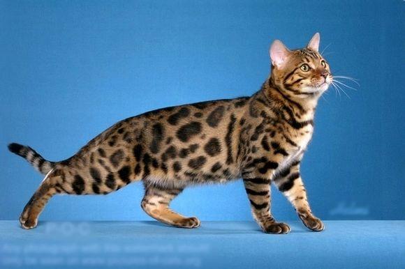 像豹子一样的猫