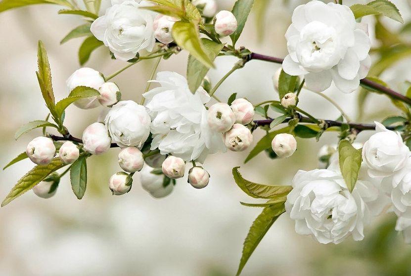 桃树叶 地瓜叶 桃树叶的功效与作用 热点 爱图片手机站