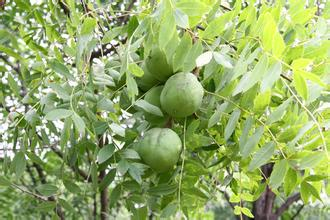 绿皮 白瓤 水果