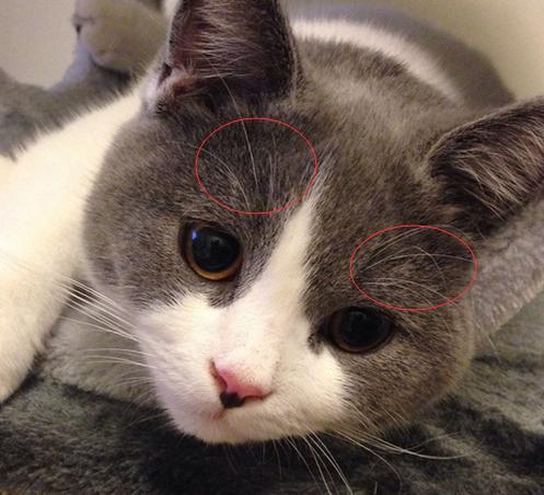 猫掉眉毛什么原因