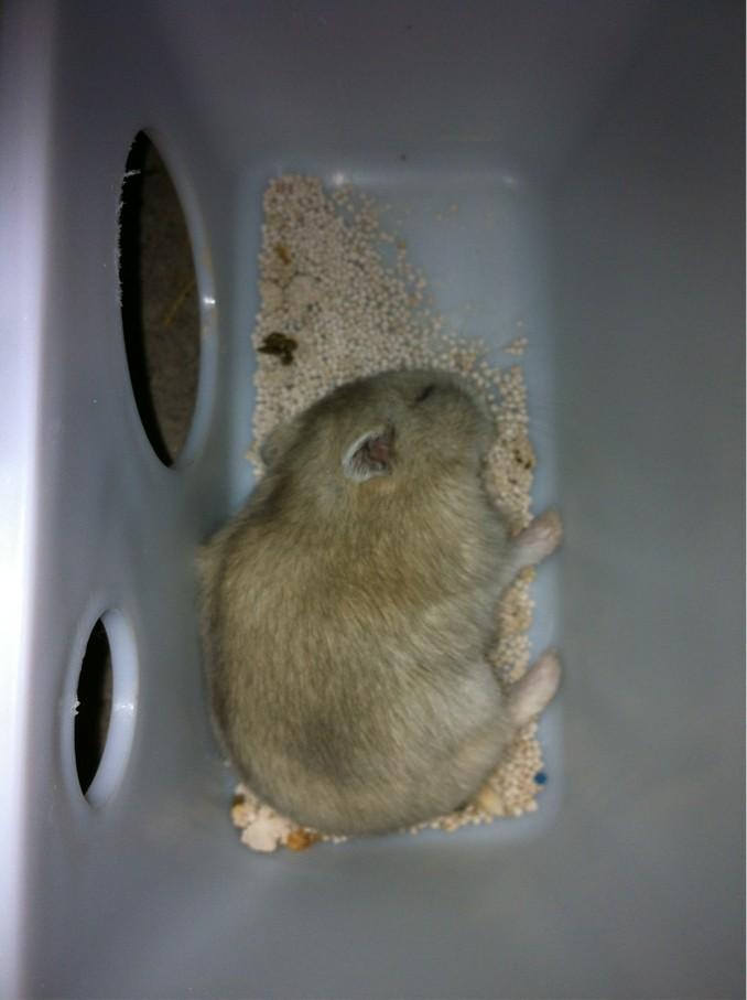 仓鼠打架死了 银狐仓鼠死了的照片 小仓鼠死的样子