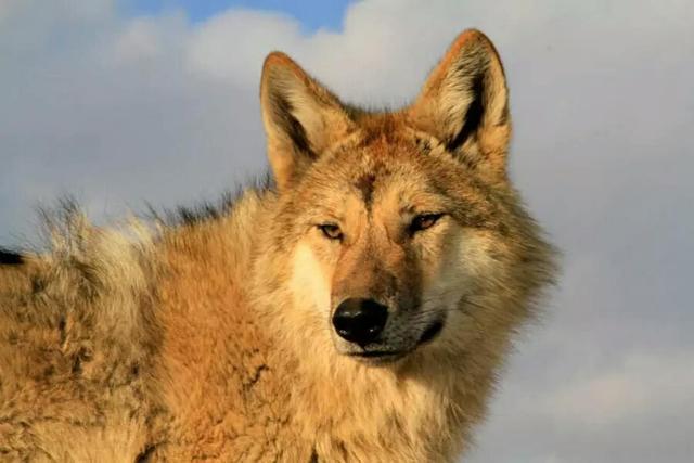 重返狼群图片