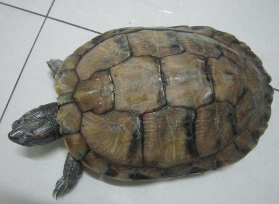 同问乌龟怎么分公的母的 还有这是什么品种呀 有图图片