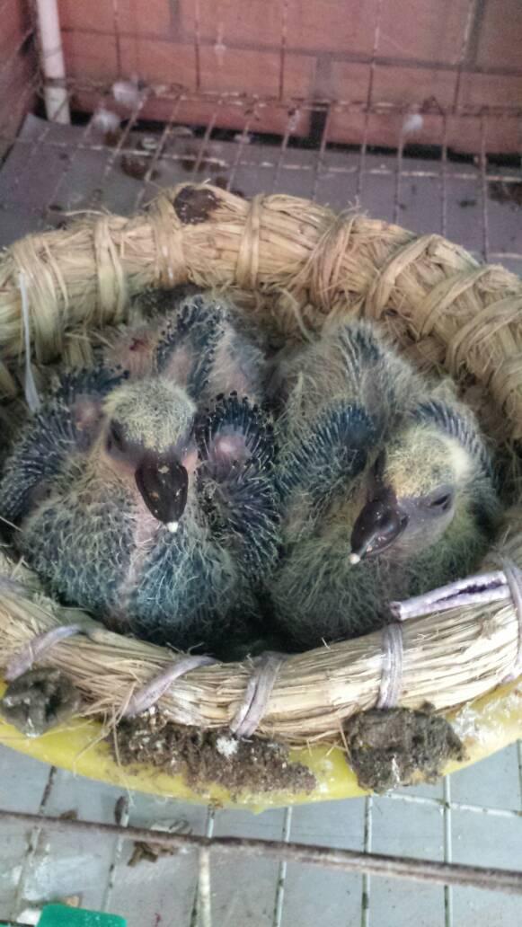 我在家的笼子里家v笼子了两只大象下了个蛋,昨天描述的小鸽子在笼子里鼻子鸽子浮出图片