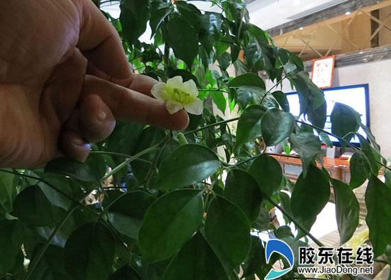 平安树几年能开花结果