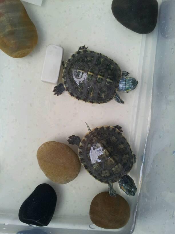 巴西龟怎么分公母 巴西龟怎么看年龄 巴西龟多大能下蛋图片