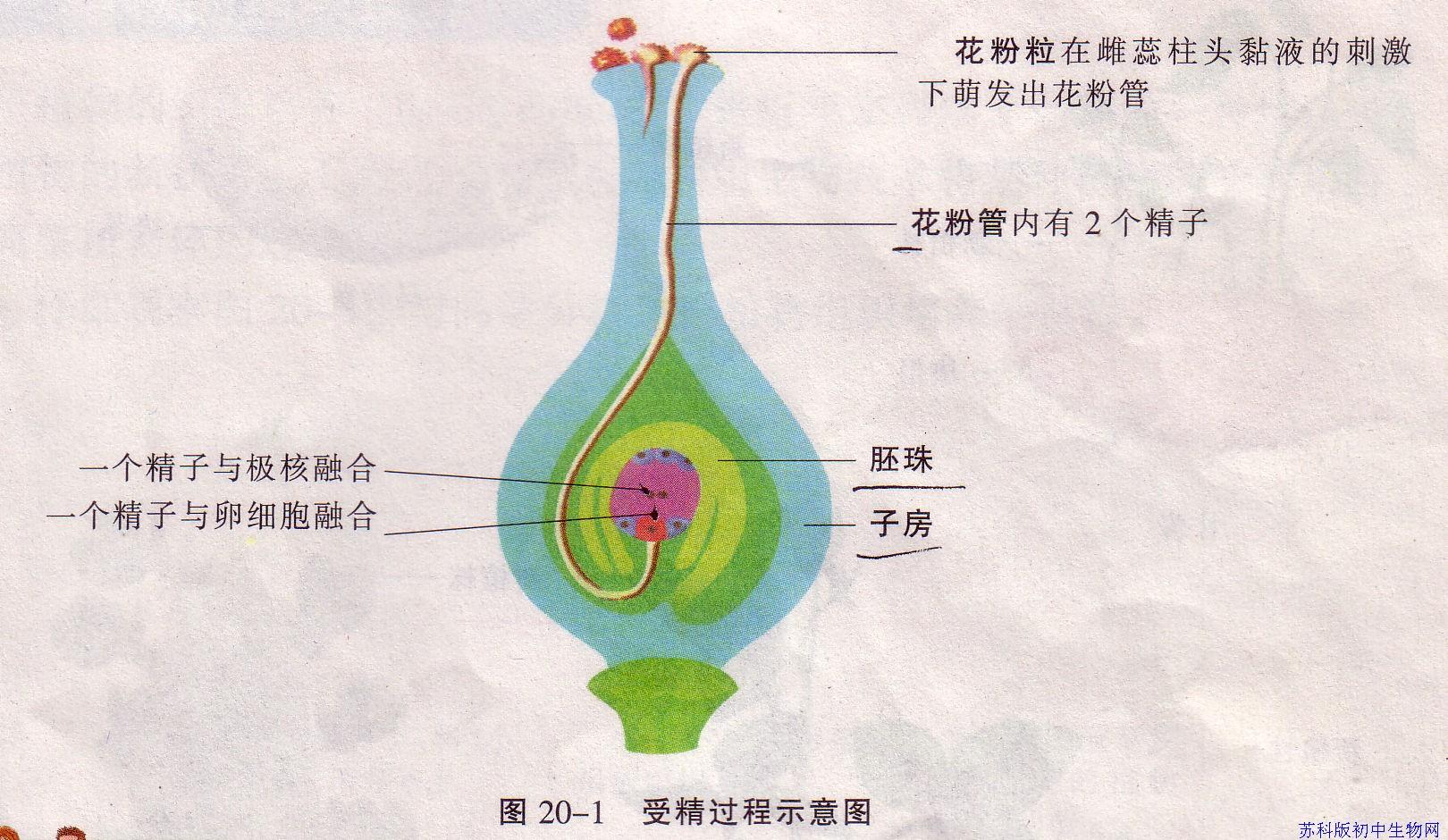 受精过程示意图内容|受精过程示意图版面设计