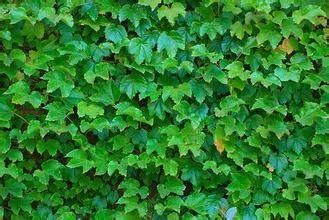 葡萄叶子什么形状