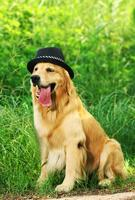 纯种金毛犬体重