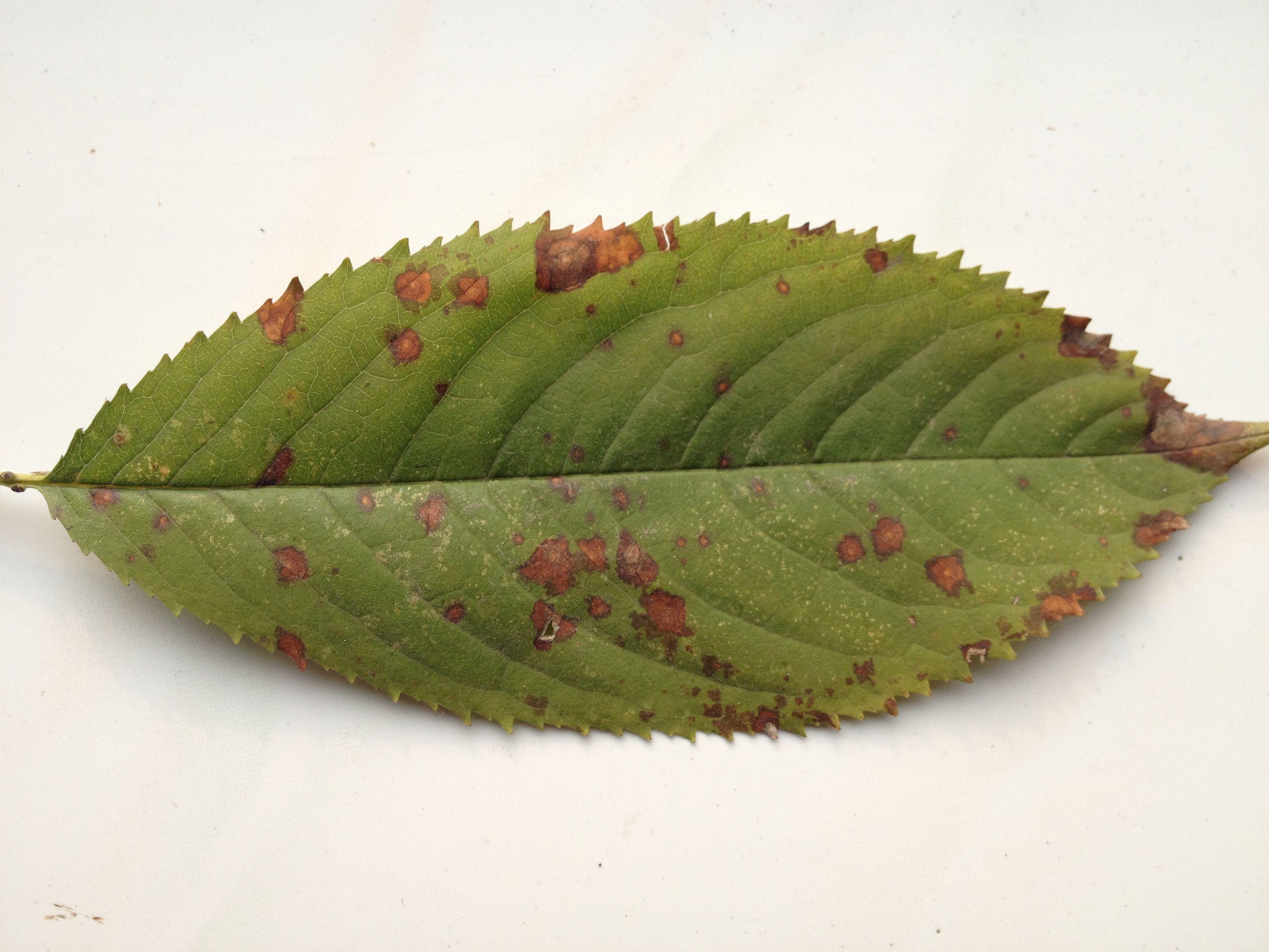 大樱桃树大面积死枝,是得了什么病吗图片
