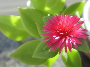 开红花的吊兰叫什么