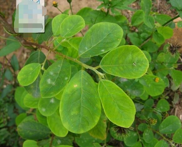 绿色椭圆形叶子的盆栽