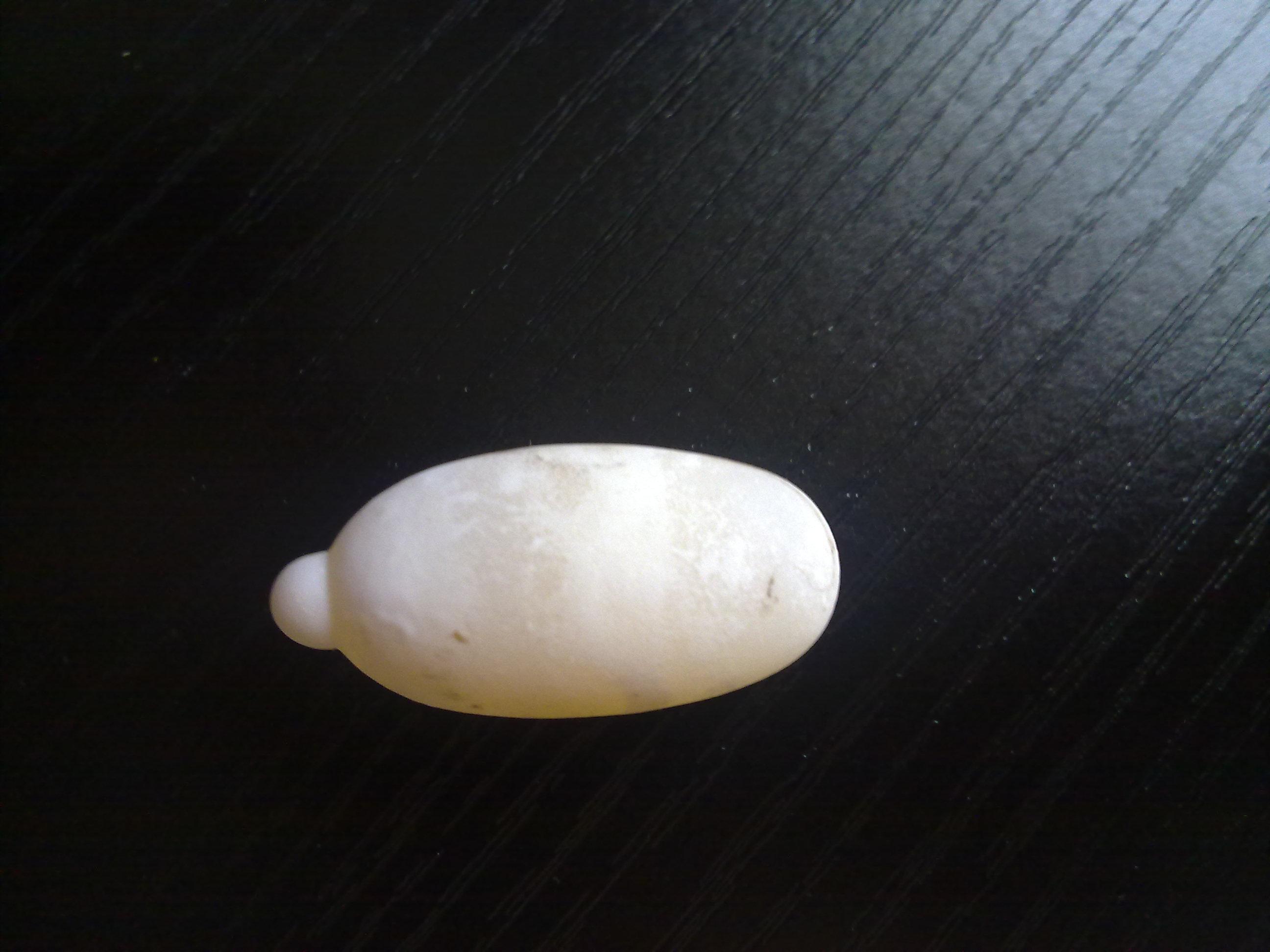 乌龟怎么受精 受精的乌龟蛋 乌龟蛋的受精斑