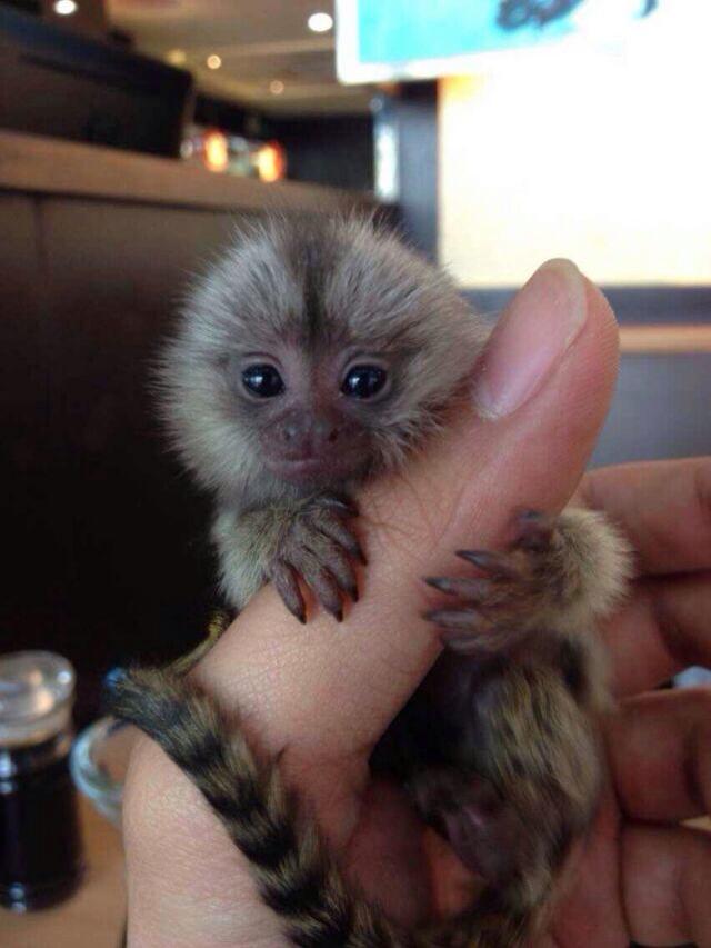 可爱的鼠狐猴_看起来好可爱哦 追问 朋友买的