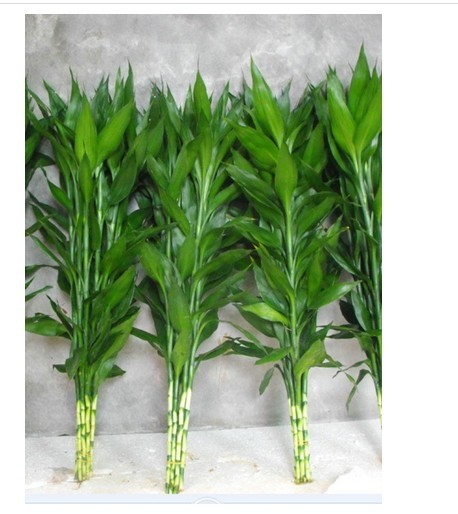 水培富贵竹怎样繁殖