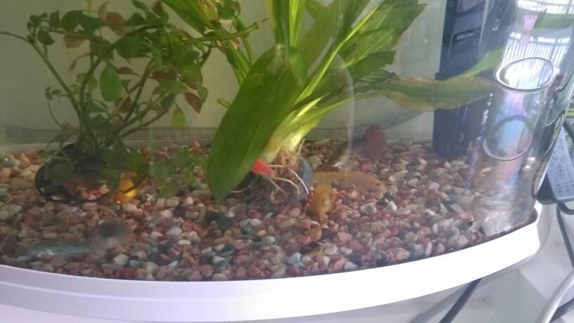 963942191_这条皮球母鱼一个星期前刚生了一群小鱼
