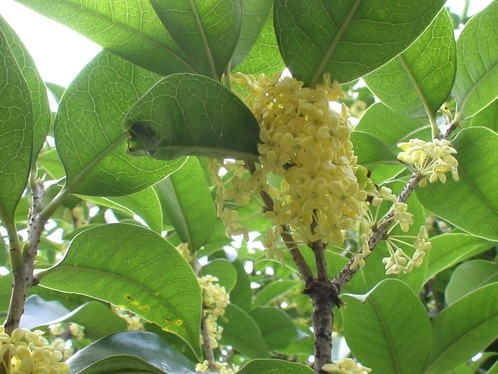 四季桂花树的养殖方法