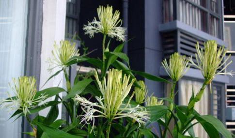 会开花的富贵竹