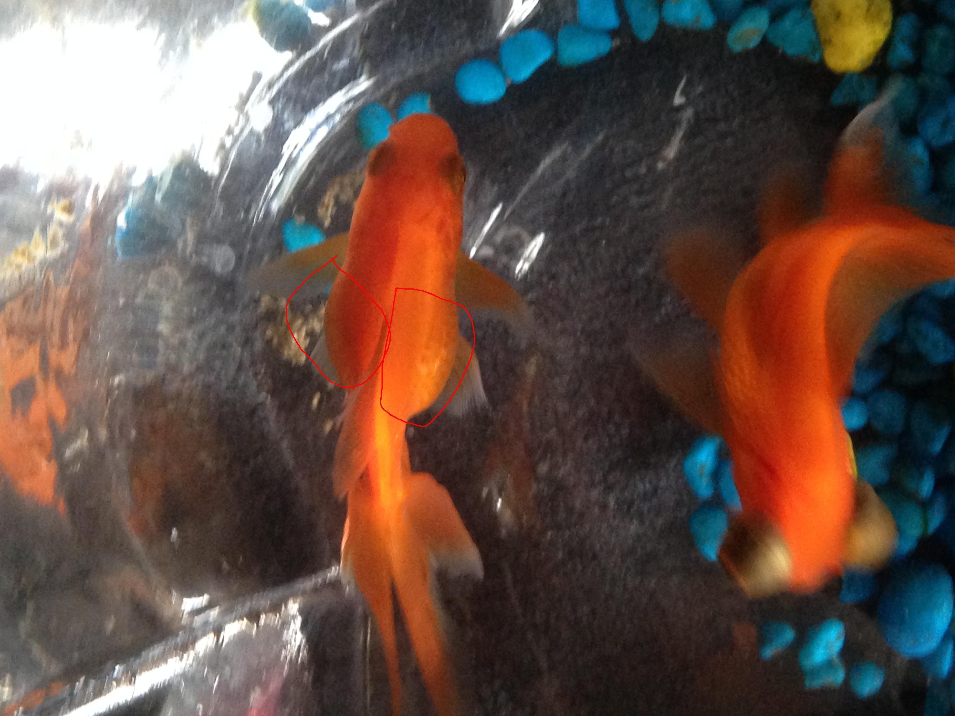 金鱼如何分辨公母图片