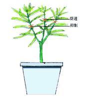 金桔树怎么修剪