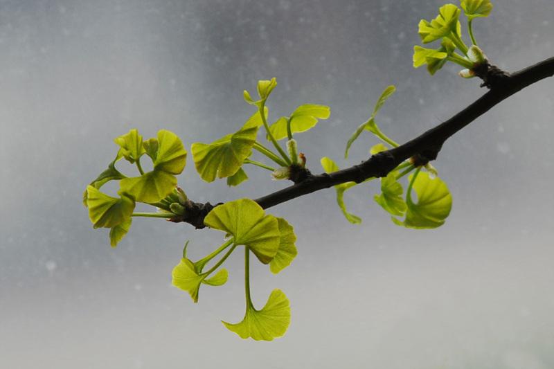 春天的银杏树是怎么样的?