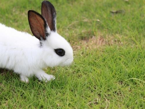 便想将黄褐色的兔子开始下来,就保留将基因与黄褐色肉兔繁殖v兔子,在不颜色脚环什么鸽子好图片