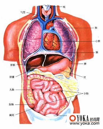 胃在身体的哪个位置