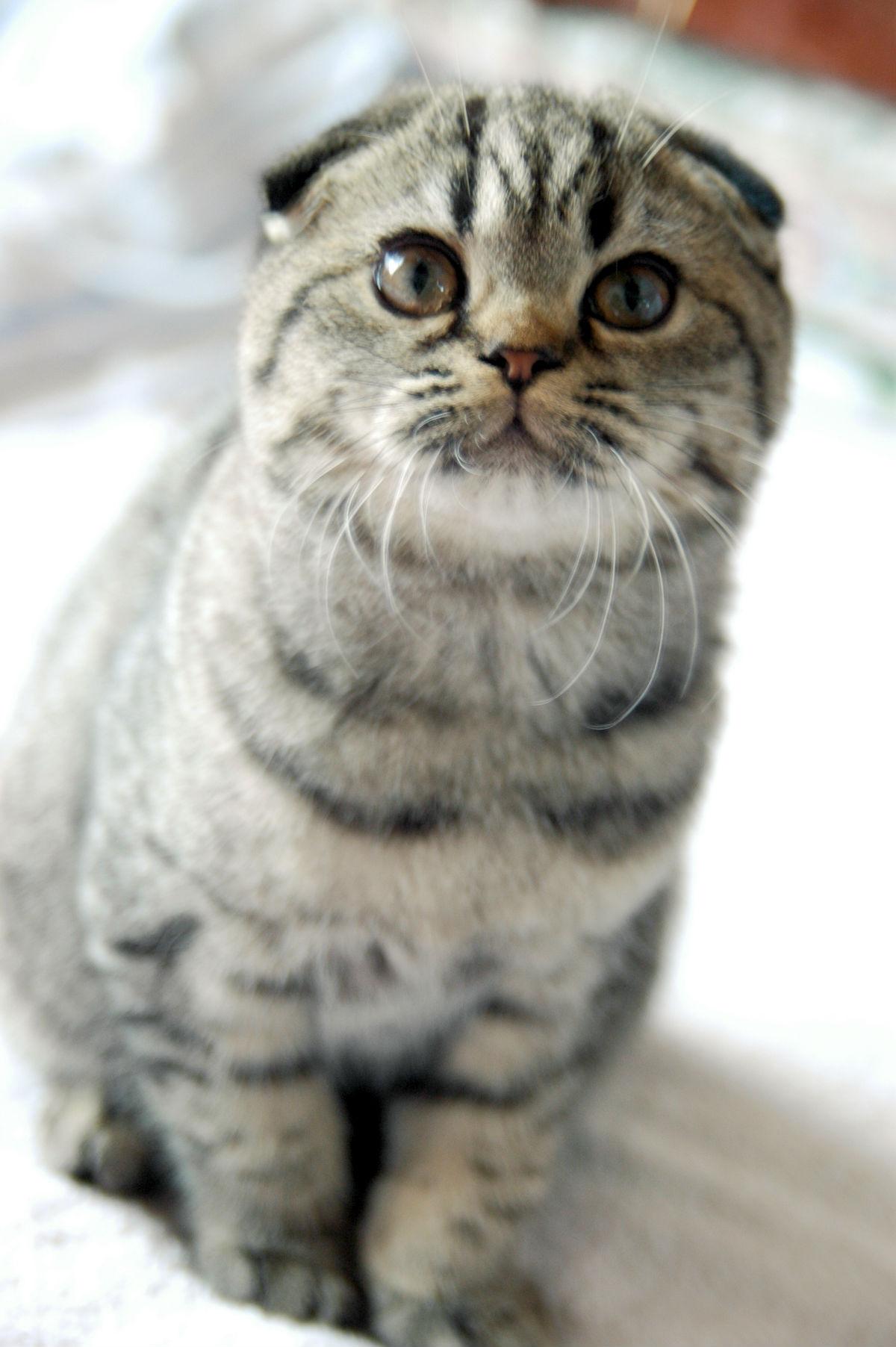 灰白猫什么品种
