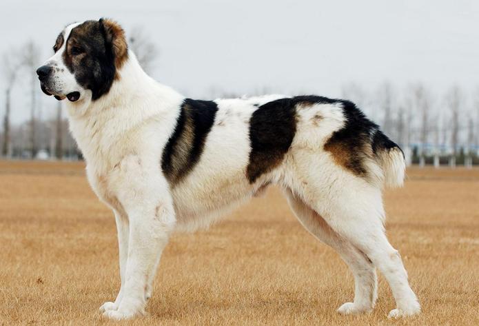 大型犬品种及图片