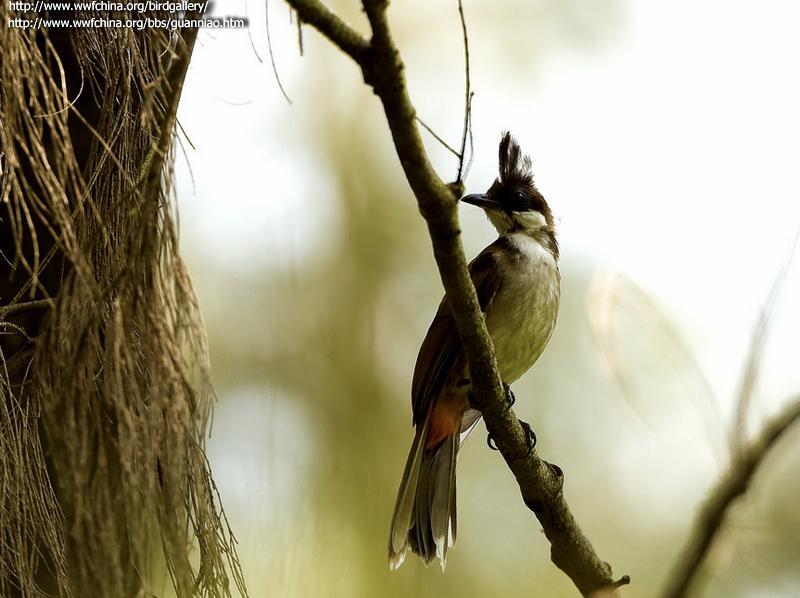 刚刚拾到小鸟一只,不知道什么鸟,但是确定不是麻雀,没