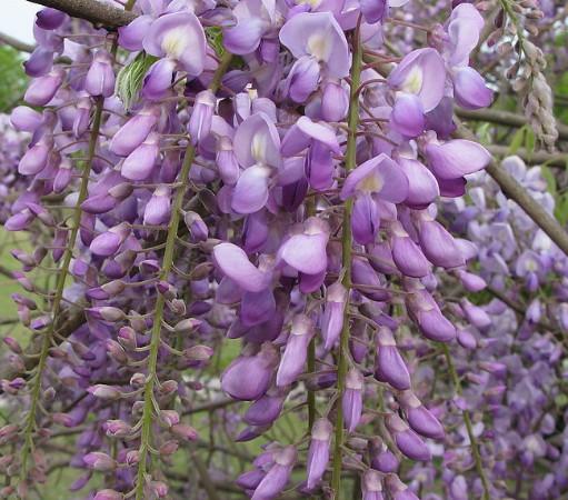紫藤的品种