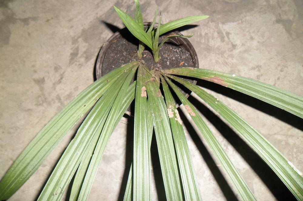 谁能帮我看一下这是什么兰花?叶长45cm左右,叶宽4cm图片