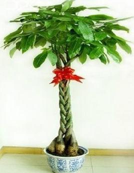 发财树种子