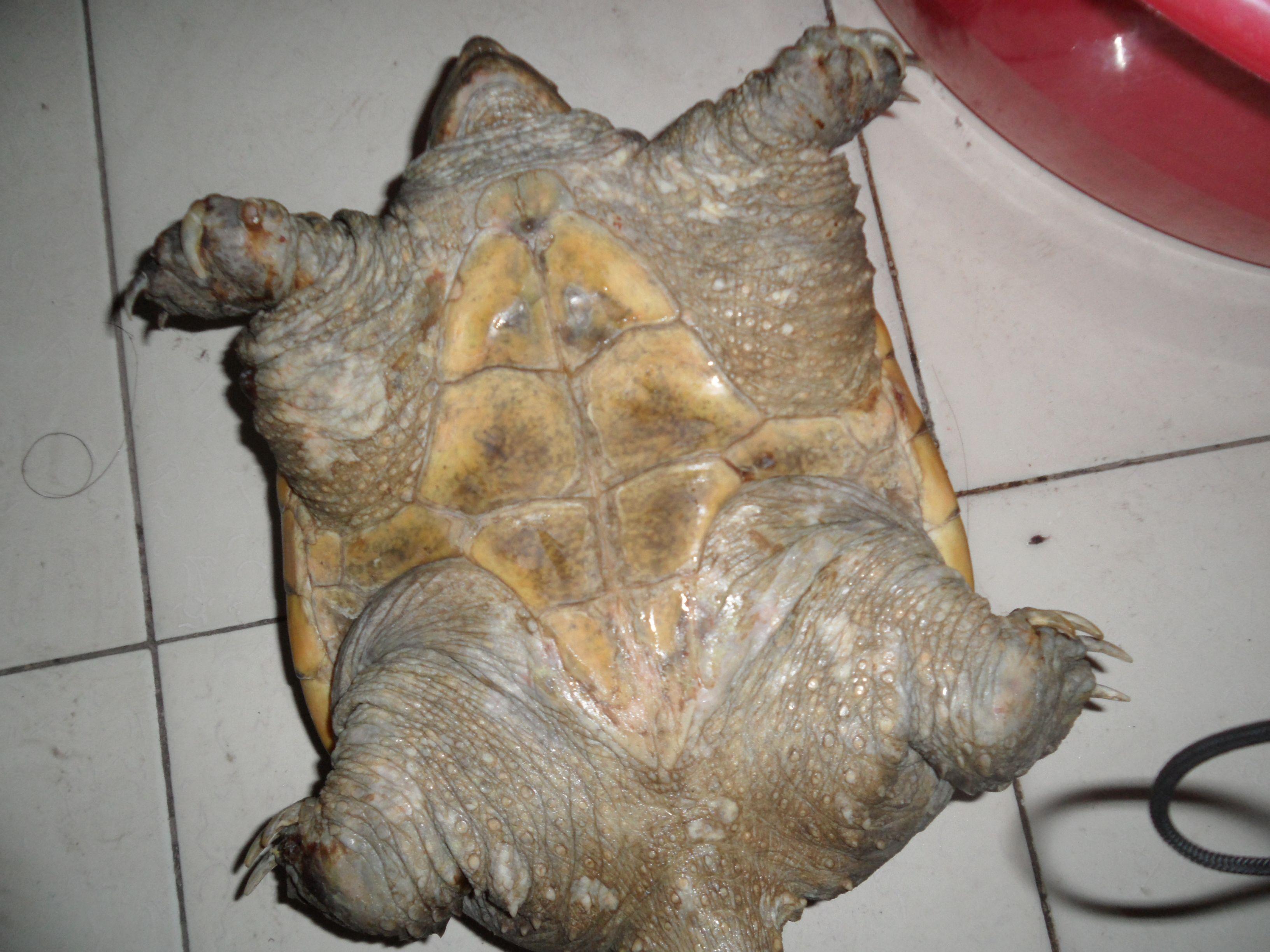 谁能救救我的鳄龟啊。_百度知道