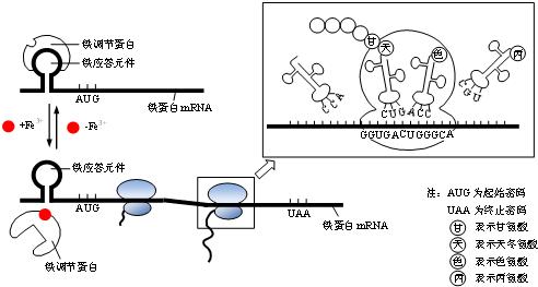 个体蛋白质翻译时间