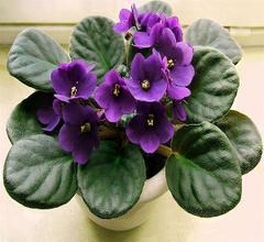 紫罗兰植物