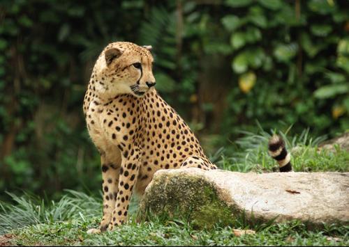 猎豹的品种名字