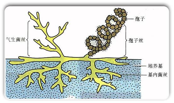 放线菌是如何繁殖的