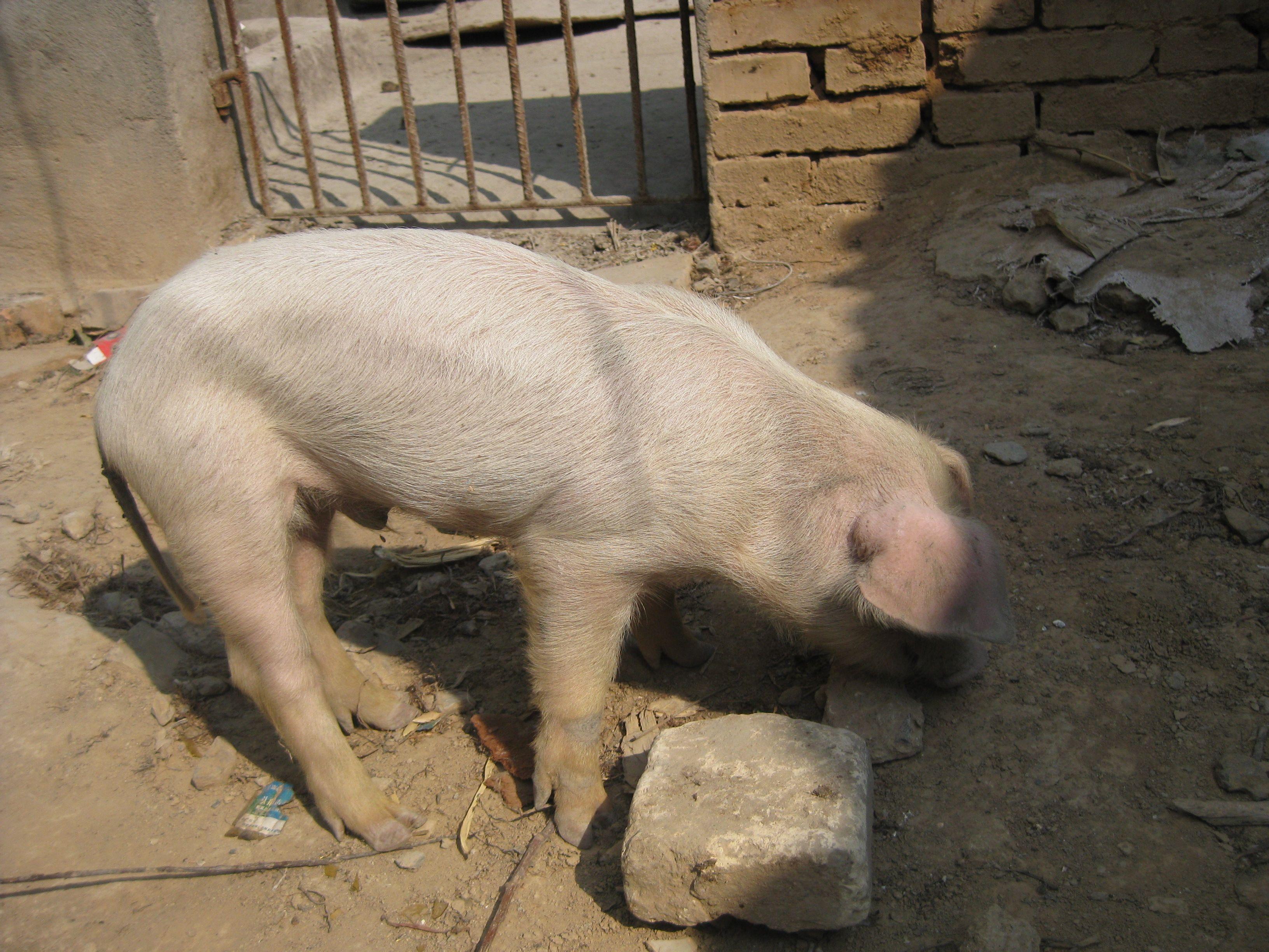 走路不稳.以下是病猪照片.那位达人知道请指点,谢谢图片