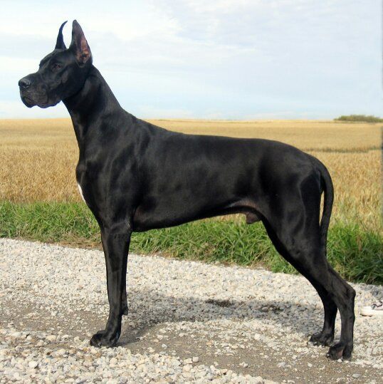 黑色短毛大狗