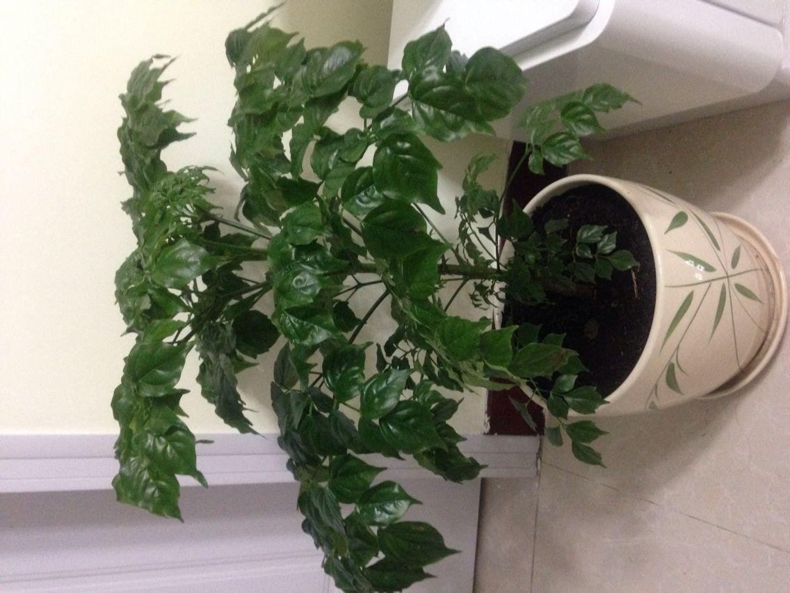 这个是什么景观植物?图片
