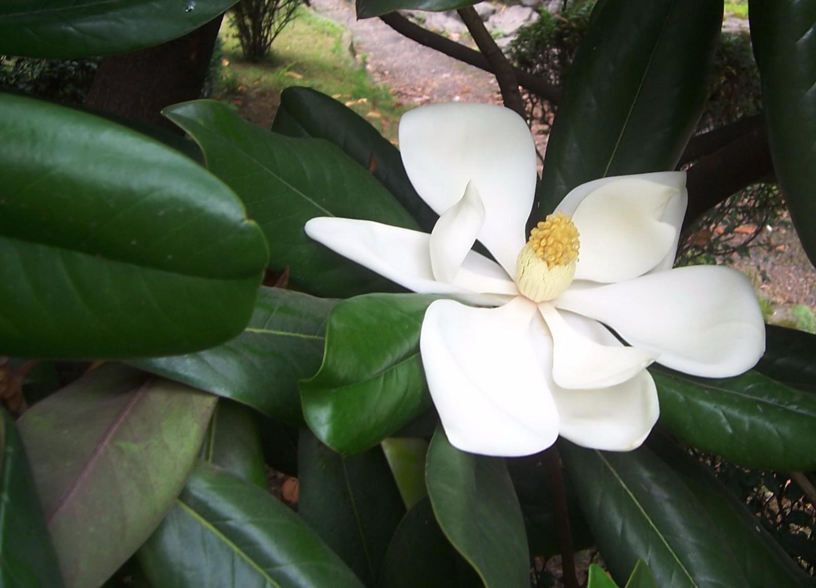 广玉兰几月开花
