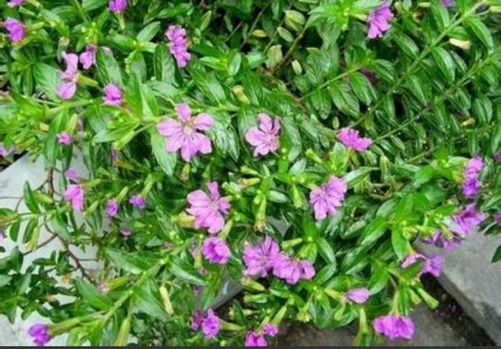 植物满天星的养殖方法