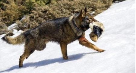 血狼犬纯音乐叫什么
