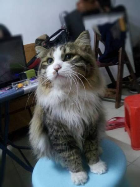 这猫是挪威森林猫吗?图片