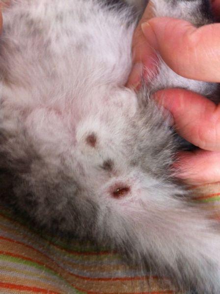 小猫怎么分公母 图解图片