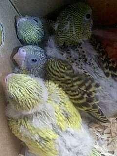 虎皮鹦鹉雏鸟连续死亡
