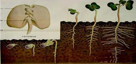 菜豆种子的萌发过程依次为?(选择题