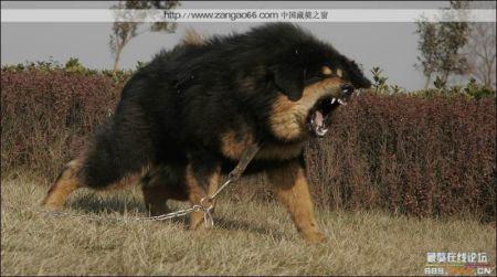 藏獒咬死狮子图片