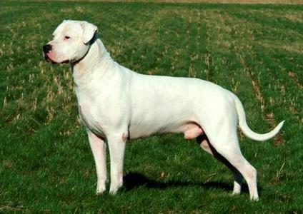 这是一只没有裁过耳朵的杜高犬.是猎犬之王.